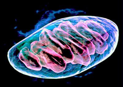 Mitochondrial DNA replication dynamics